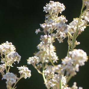 Photographie n°75037 du taxon Lepidium latifolium L.