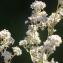 Liliane Roubaudi - Lepidium latifolium L.