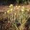 Paul Fabre - Helichrysum stoechas (L.) Moench [1794]