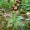 Paul Fabre - Ophrys ciliata Biv. [1806]