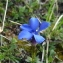Renaud RAFFIER - Gentiana verna subsp. verna