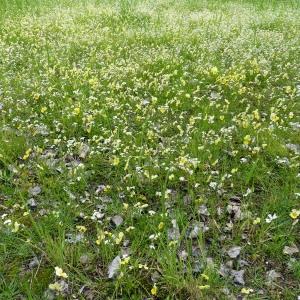 Photographie n°75221 du taxon Viola calaminaria (Ging.) Lej.