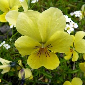Photographie n°75223 du taxon Viola calaminaria (Ging.) Lej.