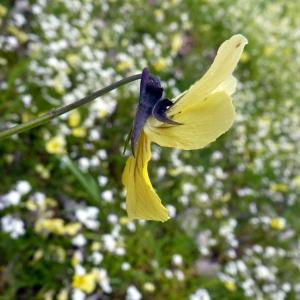 Photographie n°75224 du taxon Viola calaminaria (Ging.) Lej.