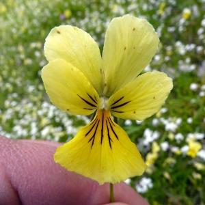 Photographie n°75226 du taxon Viola calaminaria (Ging.) Lej.