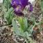 Jean-Claude Ernewein - Iris lutescens subsp. lutescens
