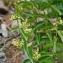 Jean-Claude Ernewein - Vincetoxicum hirundinaria subsp. hirundinaria