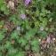 Lena LOMBARDINI - Geranium molle L.