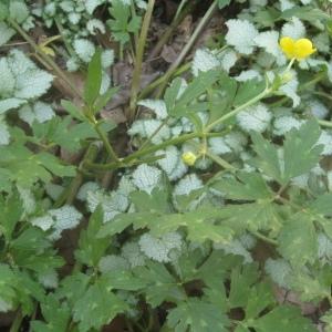 Photographie n°75308 du taxon Ranunculus repens L. [1753]