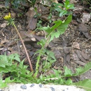 Photographie n°75311 du taxon Taraxacum dens-leonis subsp. officinale (Lyons) Douin [1923]