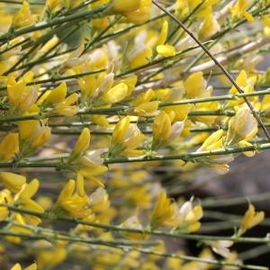 Photographie n°75354 du taxon Genista cinerea (Vill.) DC.
