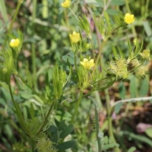 Photographie n°75371 du taxon Ranunculus arvensis L. [1753]