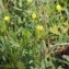 Marie  Portas - Ranunculus arvensis L.