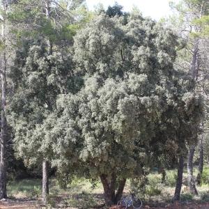 Photographie n°75418 du taxon Quercus ilex L. [1753]
