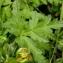 Alain Bigou - Anemone alpina subsp. apiifolia (Scop.) O.Bolòs & Vigo [1974]