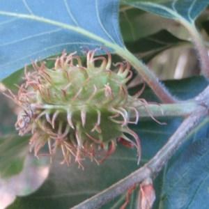 Photographie n°75472 du taxon Fagus sylvatica L.