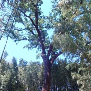 Photographie n°75475 du taxon Quercus robur L. [1753]