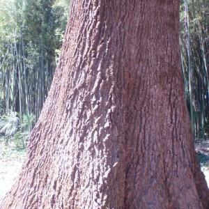 Photographie n°75477 du taxon Quercus robur L. [1753]