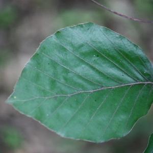 Photographie n°75605 du taxon Fagus sylvatica L.