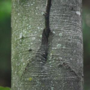 Photographie n°75609 du taxon Fagus sylvatica L.