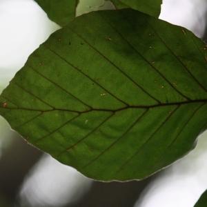 Photographie n°75611 du taxon Fagus sylvatica L.