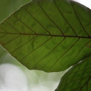 Photographie n°75612 du taxon Fagus sylvatica L.