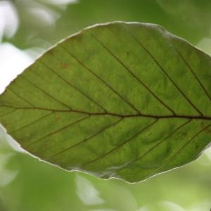 Photographie n°75613 du taxon Fagus sylvatica L.