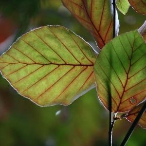 Photographie n°75615 du taxon Fagus sylvatica L.