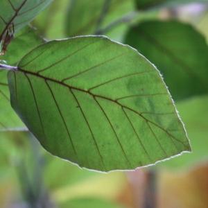 Photographie n°75616 du taxon Fagus sylvatica L.