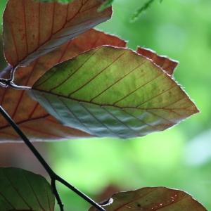 Photographie n°75617 du taxon Fagus sylvatica L.
