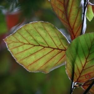 Photographie n°75618 du taxon Fagus sylvatica L.