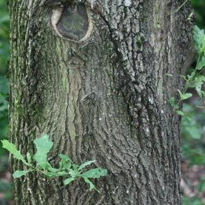 Photographie n°75691 du taxon Quercus robur L. [1753]