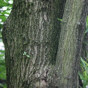 Photographie n°75692 du taxon Quercus robur L. [1753]