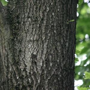 Photographie n°75694 du taxon Quercus robur L. [1753]