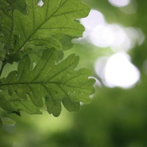 Photographie n°75696 du taxon Quercus robur L. [1753]