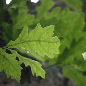 Photographie n°75698 du taxon Quercus robur L. [1753]
