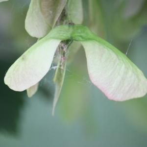 Photographie n°75757 du taxon Acer pseudoplatanus L.