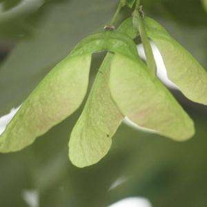 Photographie n°75761 du taxon Acer pseudoplatanus L.
