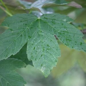 Photographie n°75767 du taxon Acer pseudoplatanus L.