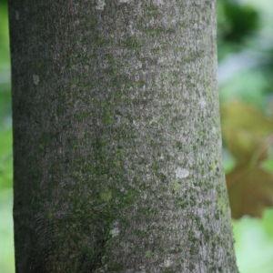 Photographie n°75768 du taxon Acer pseudoplatanus L.