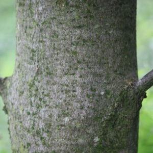 Photographie n°75769 du taxon Acer pseudoplatanus L.
