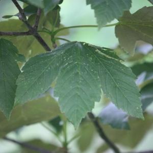 Photographie n°75771 du taxon Acer pseudoplatanus L.