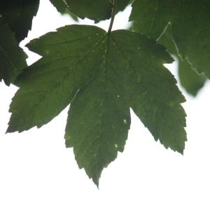 Photographie n°75772 du taxon Acer pseudoplatanus L.