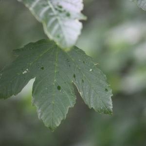 Photographie n°75773 du taxon Acer pseudoplatanus L.