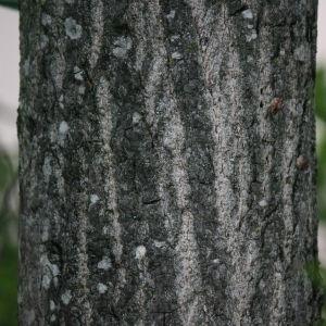 Photographie n°75795 du taxon Populus nigra L.