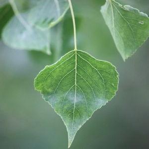 Photographie n°75798 du taxon Populus nigra L.