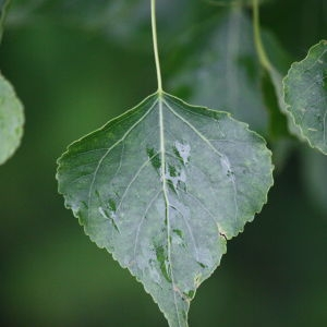 Photographie n°75801 du taxon Populus nigra L.