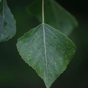 Photographie n°75802 du taxon Populus nigra L.