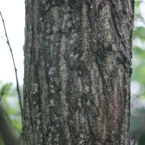Photographie n°75807 du taxon Populus nigra L.
