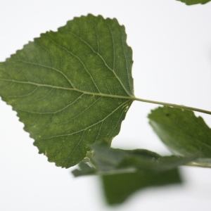 Photographie n°75811 du taxon Populus nigra L.